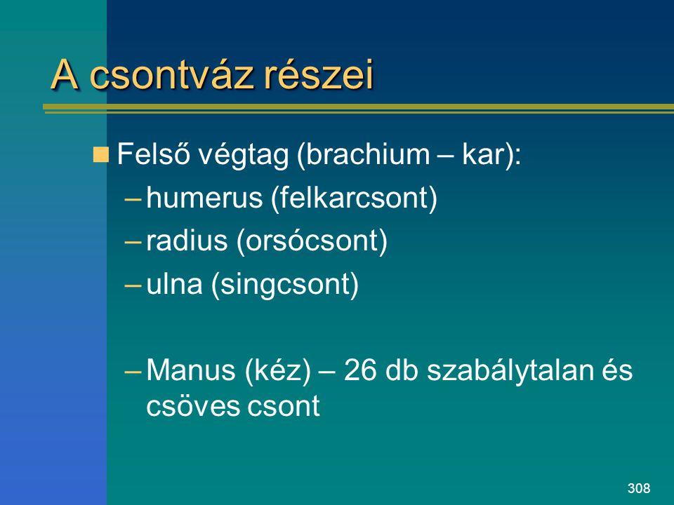 A csontváz részei Felső végtag (brachium – kar): humerus (felkarcsont)