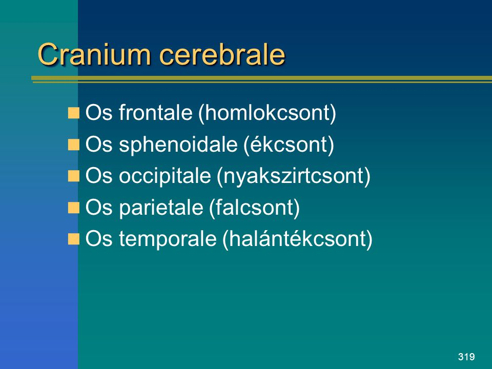 Cranium cerebrale Os frontale (homlokcsont) Os sphenoidale (ékcsont)