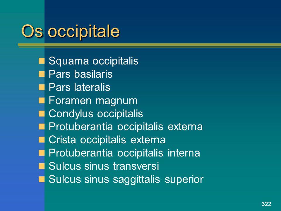 Os occipitale Squama occipitalis Pars basilaris Pars lateralis