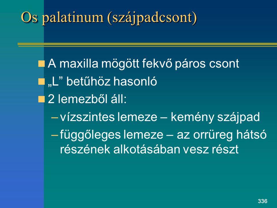 Os palatinum (szájpadcsont)