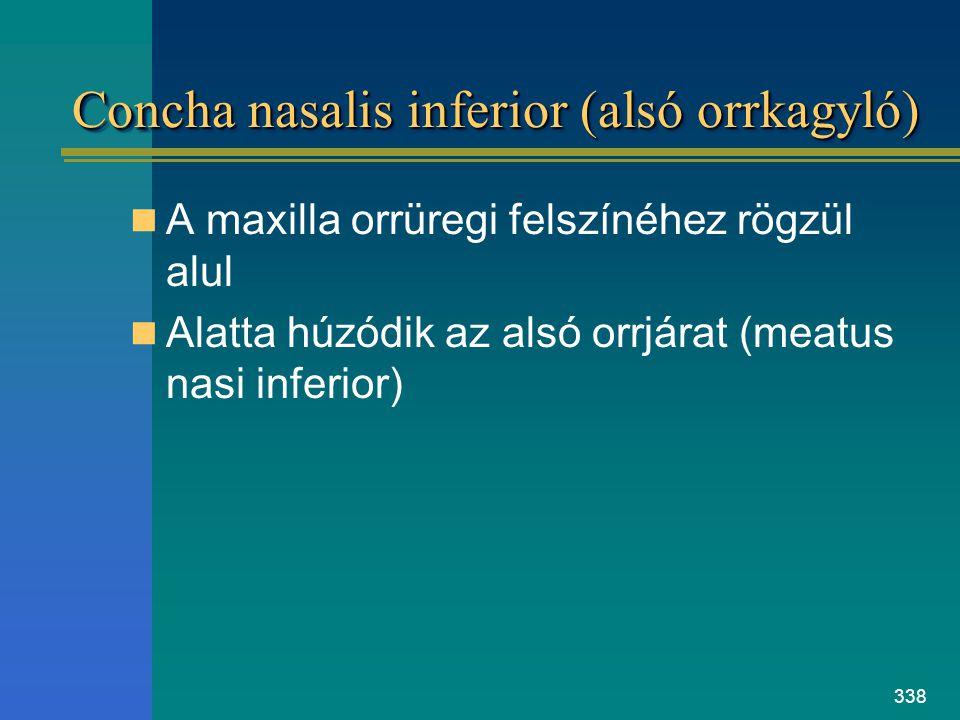 Concha nasalis inferior (alsó orrkagyló)