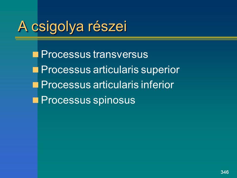 A csigolya részei Processus transversus Processus articularis superior