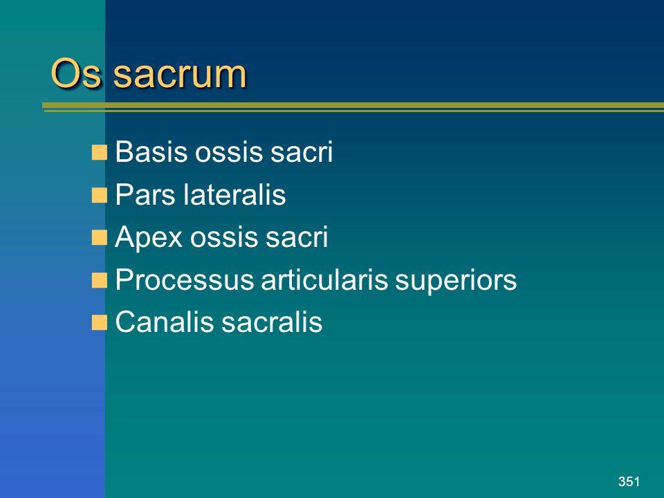 Os sacrum Basis ossis sacri Pars lateralis Apex ossis sacri