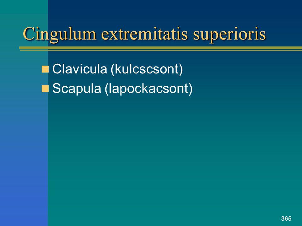 Cingulum extremitatis superioris