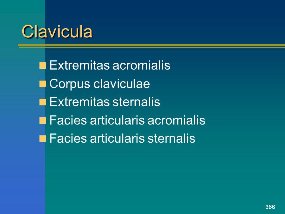 Clavicula Extremitas acromialis Corpus claviculae Extremitas sternalis