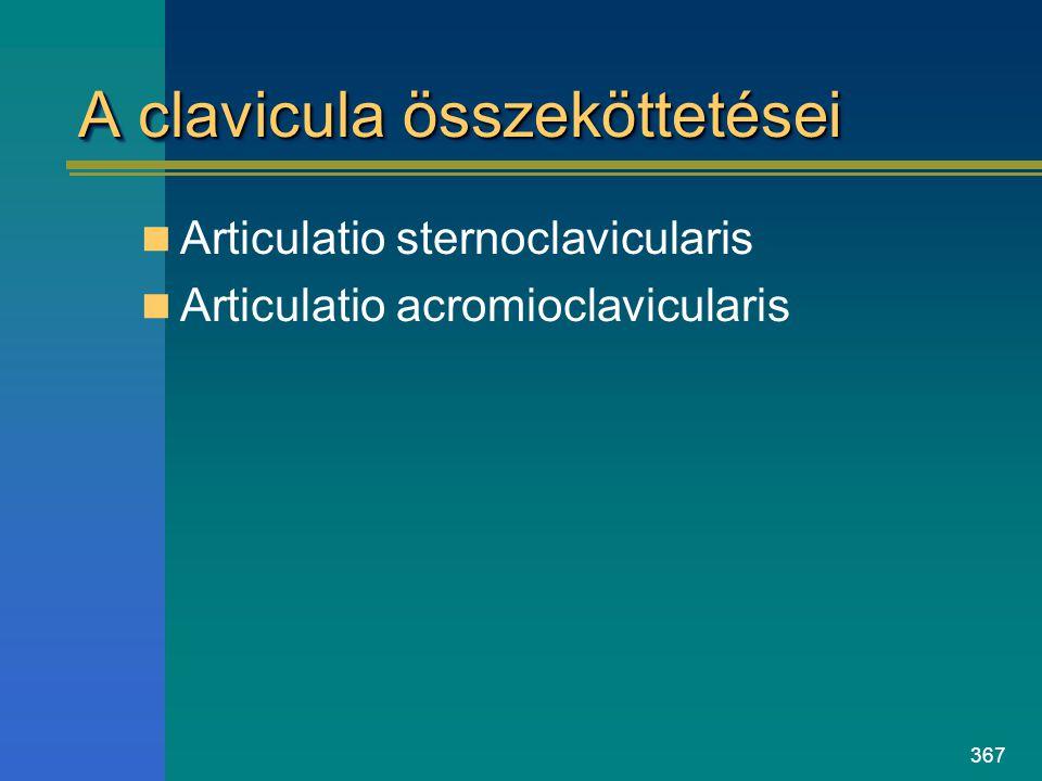 A clavicula összeköttetései