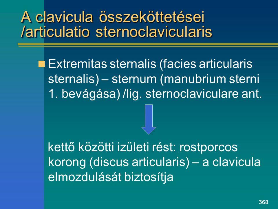 A clavicula összeköttetései /articulatio sternoclavicularis