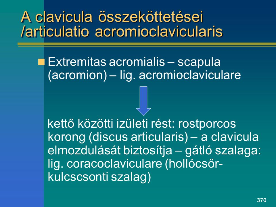 A clavicula összeköttetései /articulatio acromioclavicularis