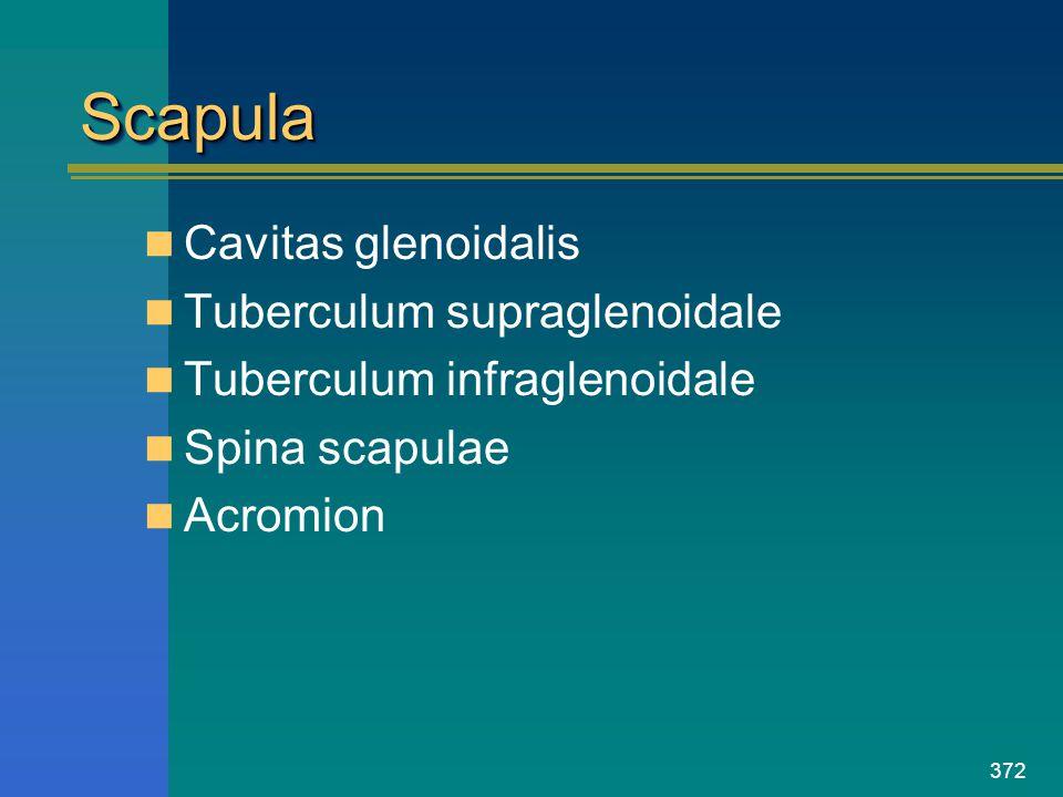 Scapula Cavitas glenoidalis Tuberculum supraglenoidale