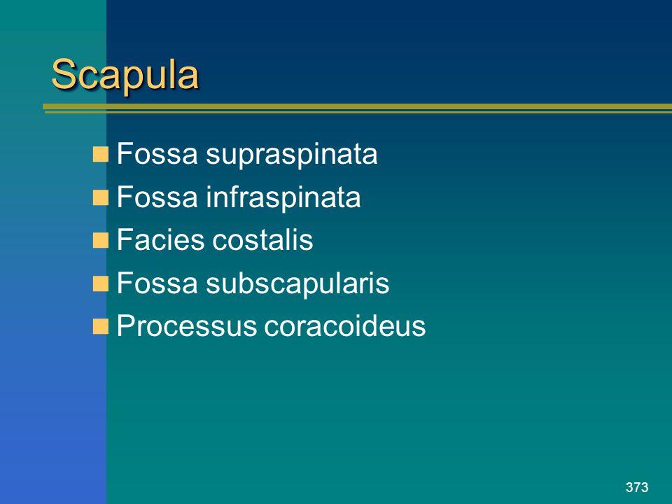 Scapula Fossa supraspinata Fossa infraspinata Facies costalis