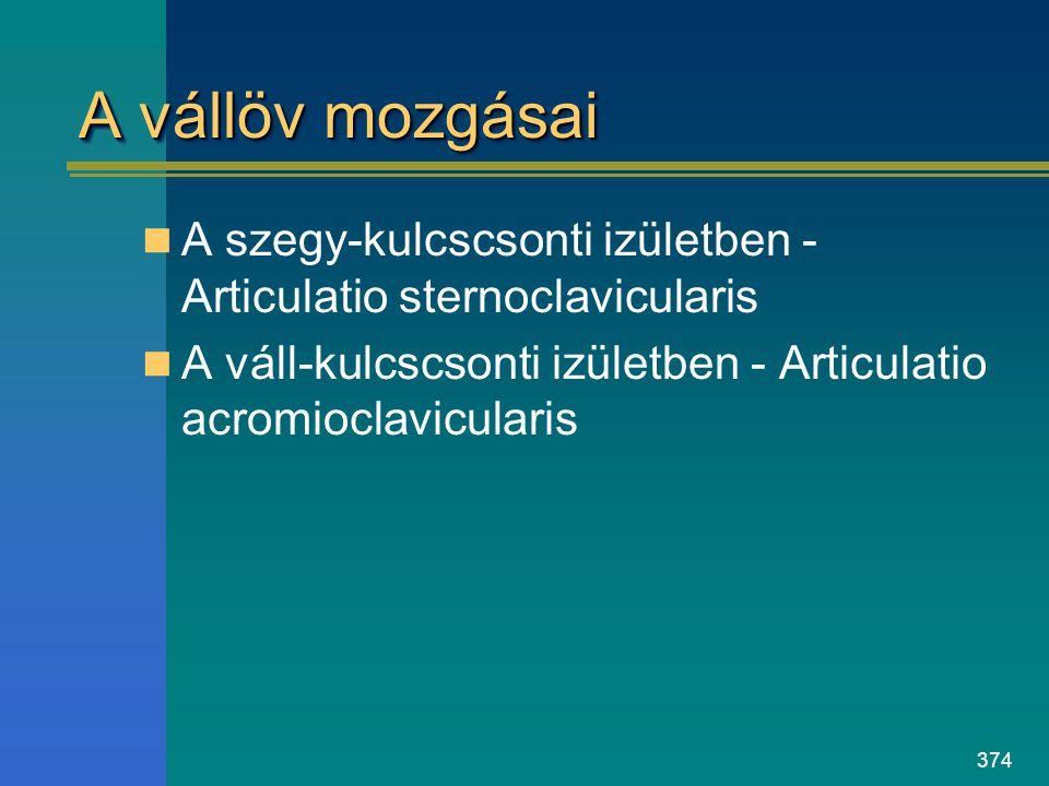 A vállöv mozgásai A szegy-kulcscsonti izületben -Articulatio sternoclavicularis.