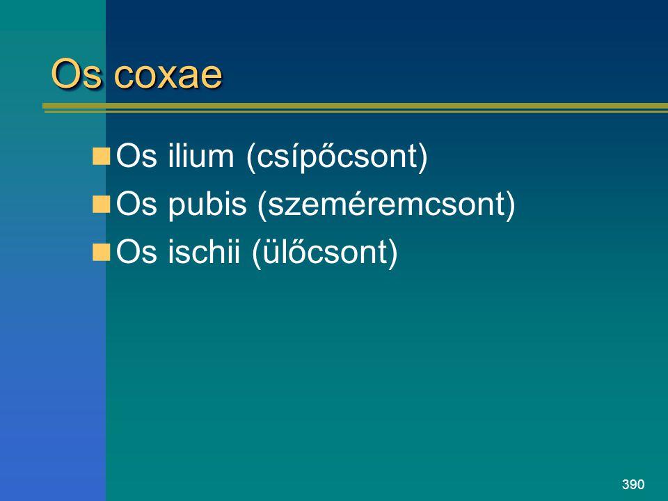 Os coxae Os ilium (csípőcsont) Os pubis (szeméremcsont)