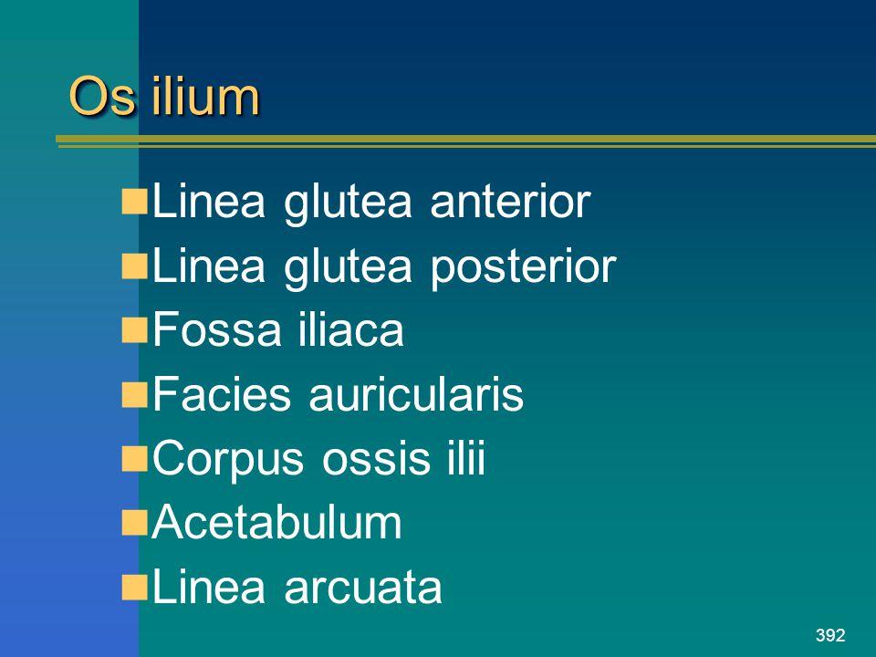 Os ilium Linea glutea anterior Linea glutea posterior Fossa iliaca