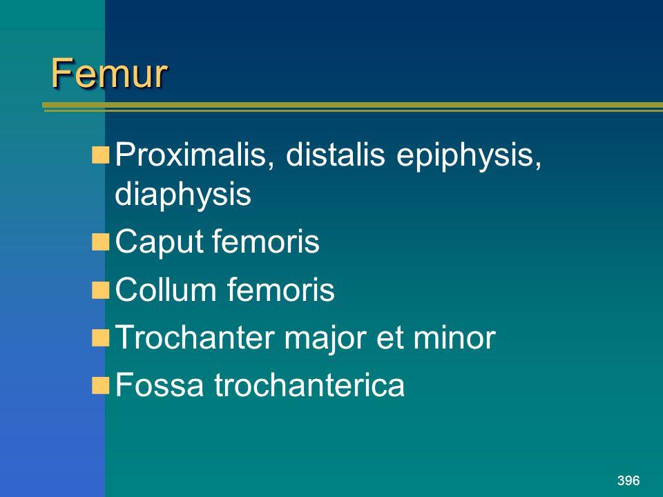 Femur Proximalis, distalis epiphysis, diaphysis Caput femoris