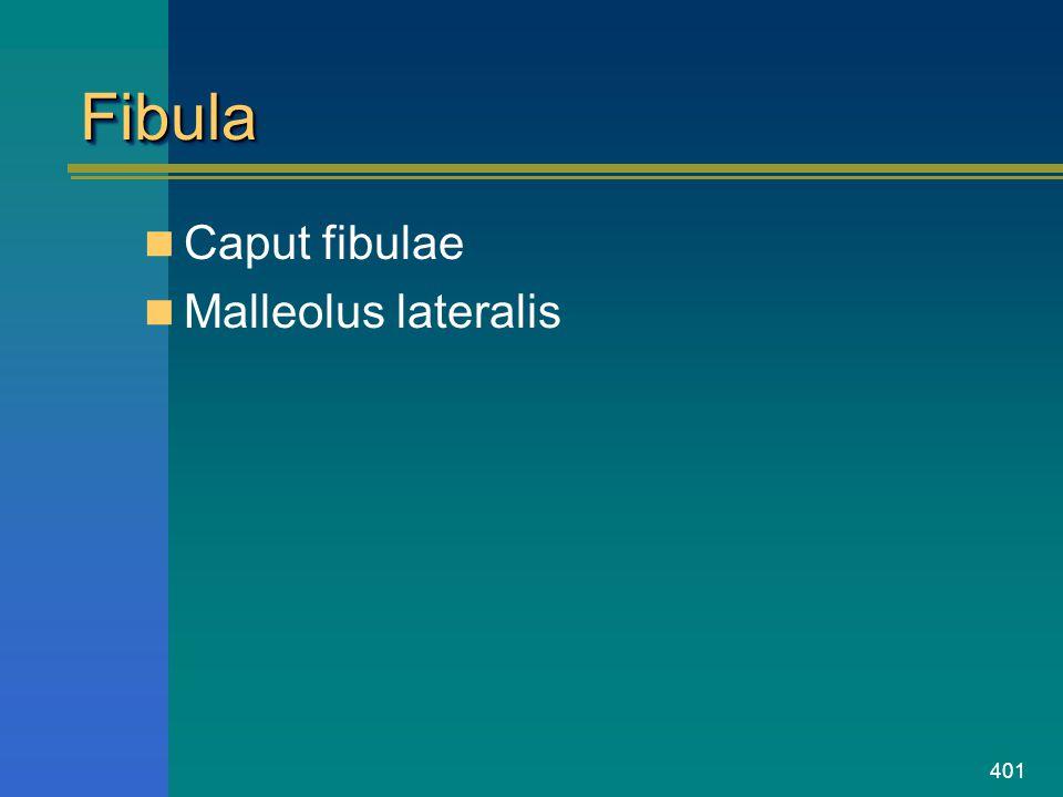 Fibula Caput fibulae Malleolus lateralis