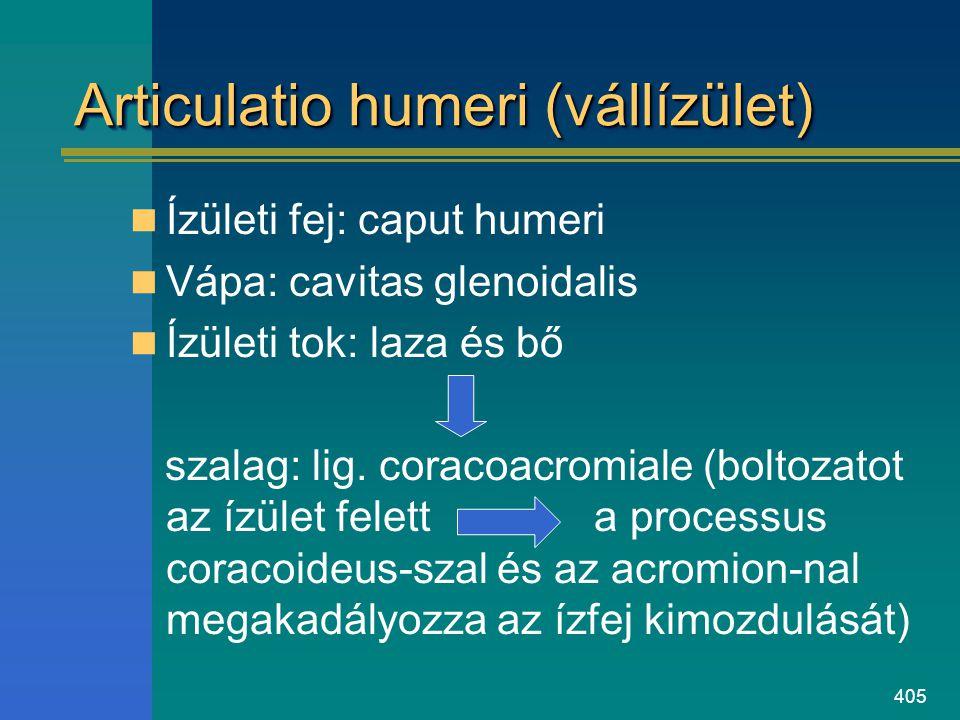 Articulatio humeri (vállízület)