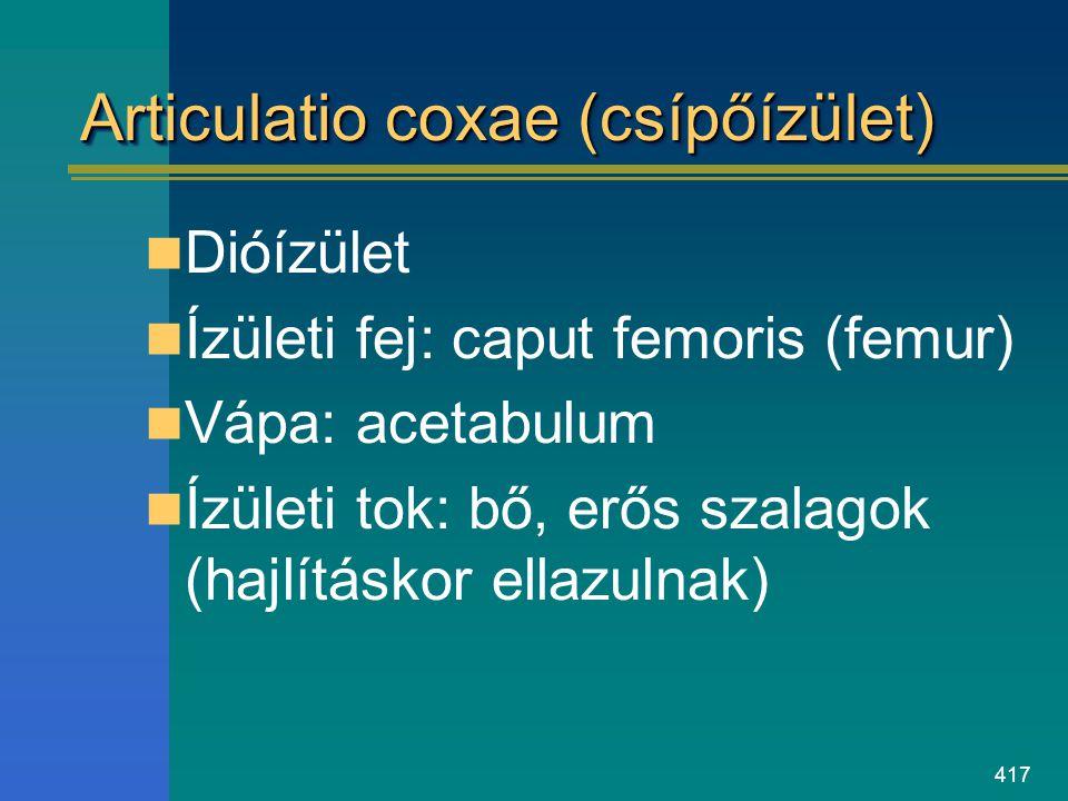 Articulatio coxae (csípőízület)