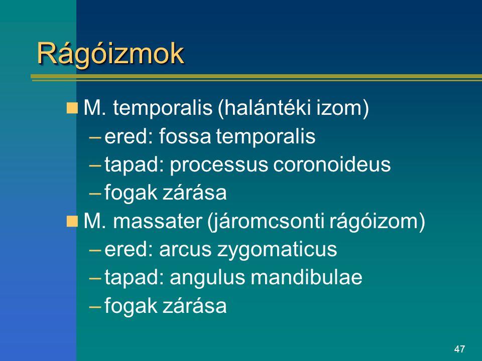 Rágóizmok M. temporalis (halántéki izom) ered: fossa temporalis