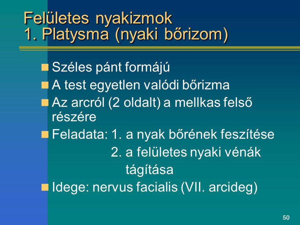 Felületes nyakizmok 1. Platysma (nyaki bőrizom)