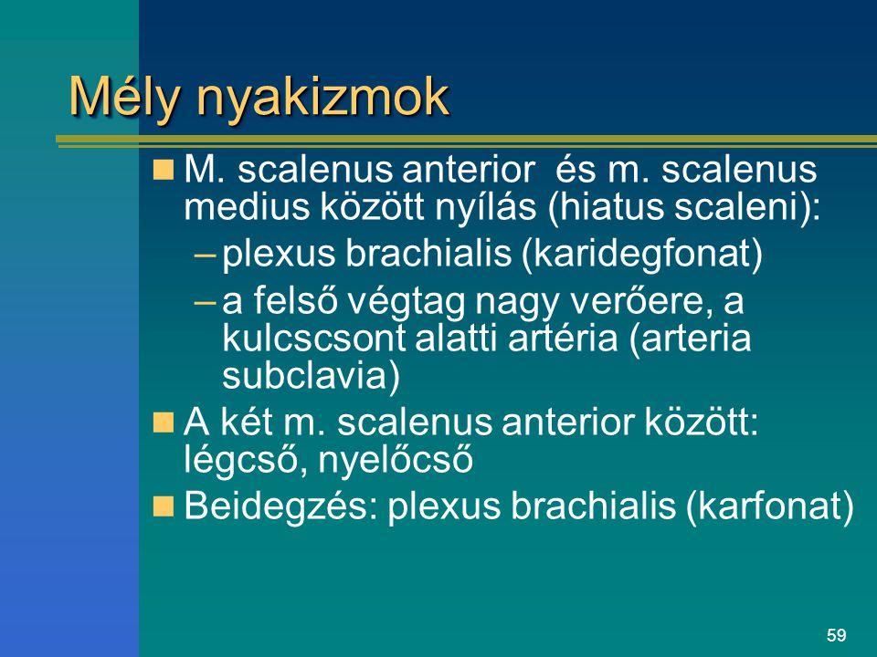 Mély nyakizmok M. scalenus anterior és m. scalenus medius között nyílás (hiatus scaleni): plexus brachialis (karidegfonat)
