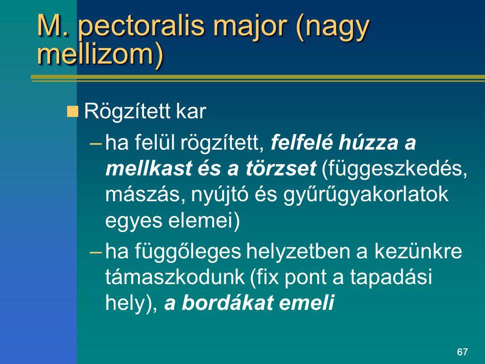 M. pectoralis major (nagy mellizom)