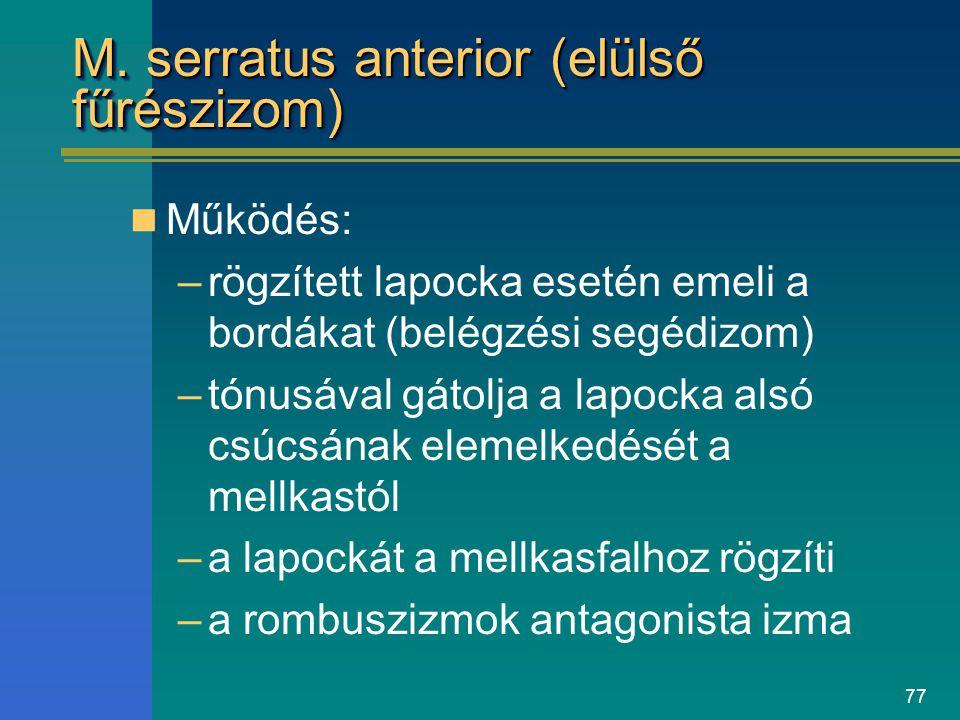 M. serratus anterior (elülső fűrészizom)