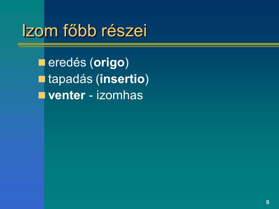 Izom főbb részei eredés (origo) tapadás (insertio) venter - izomhas
