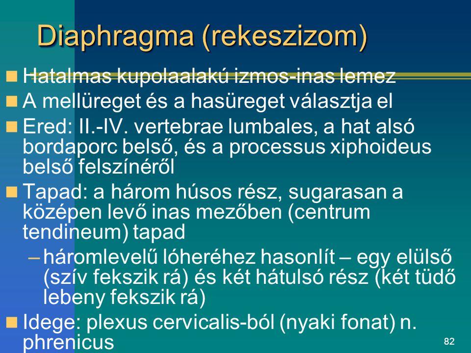 Diaphragma (rekeszizom)