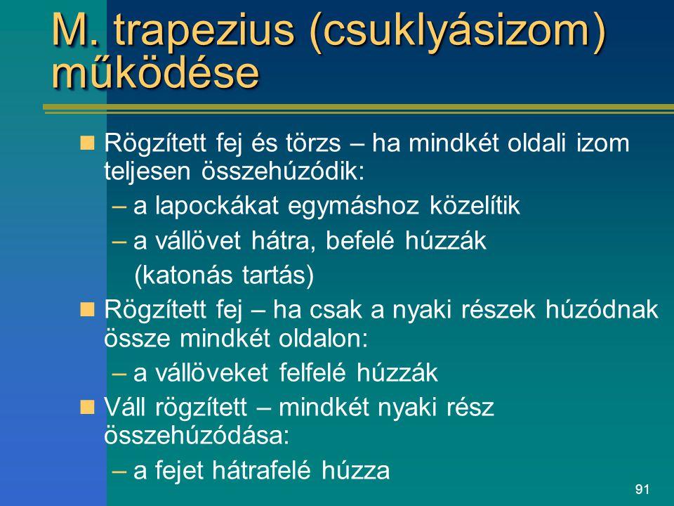 M. trapezius (csuklyásizom) működése