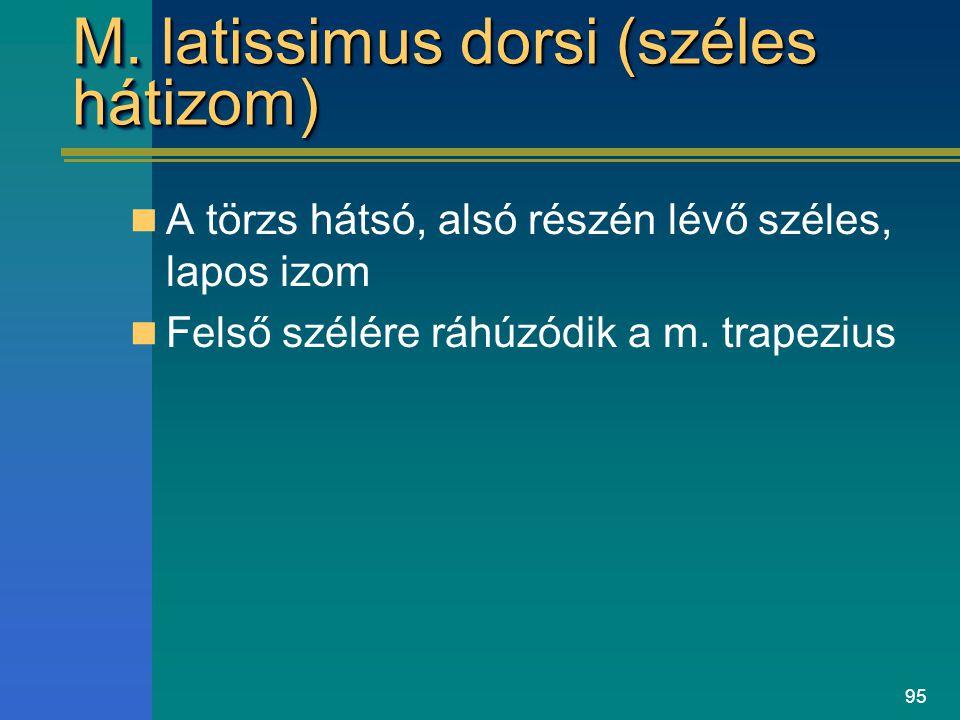 M. latissimus dorsi (széles hátizom)