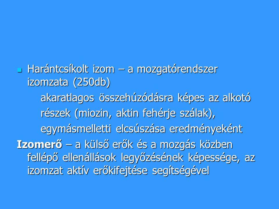 Harántcsíkolt izom – a mozgatórendszer izomzata (250db)