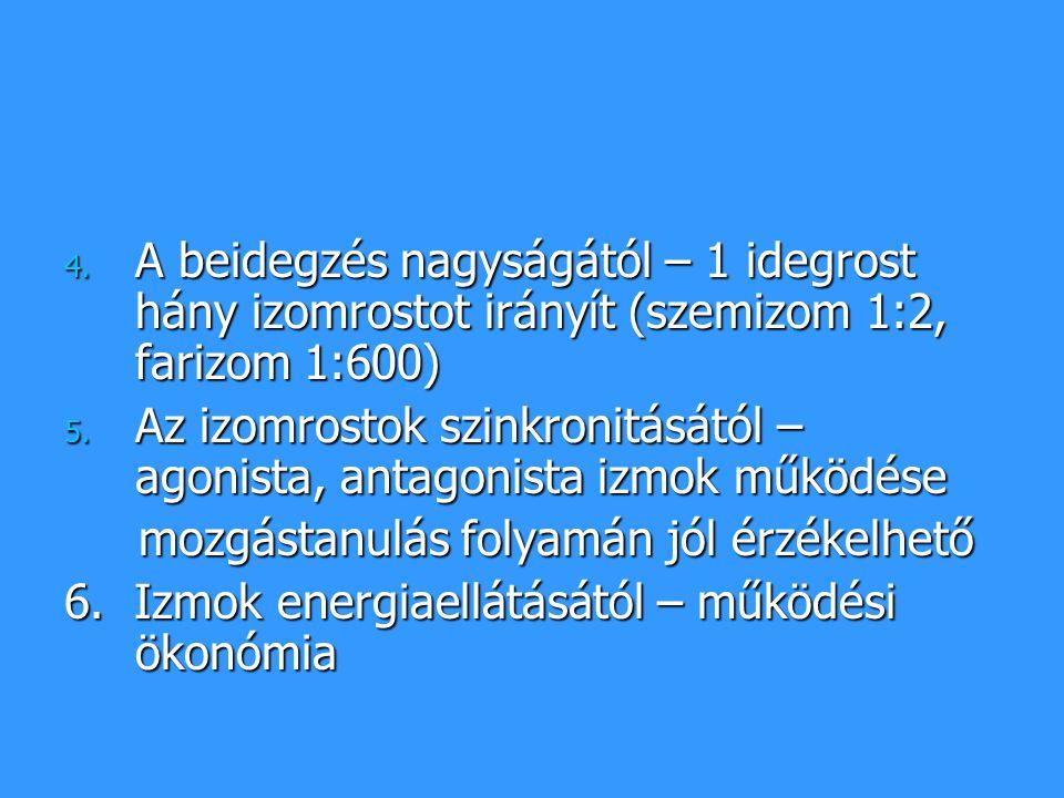 A beidegzés nagyságától – 1 idegrost hány izomrostot irányít (szemizom 1:2, farizom 1:600)