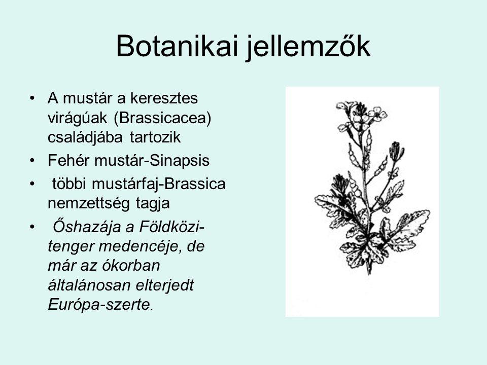 Botanikai jellemzők A mustár a keresztes virágúak (Brassicacea) családjába tartozik. Fehér mustár-Sinapsis.