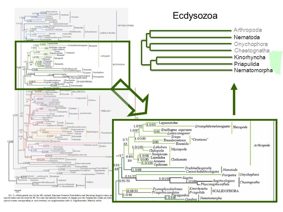 Ecdysozoa Arthropoda Nematoda Onychophora Chaetognatha Kinorhyncha