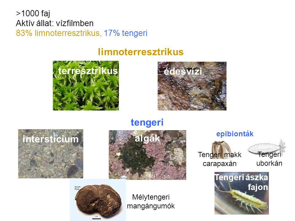 limnoterresztrikus tengeri intersticium algák