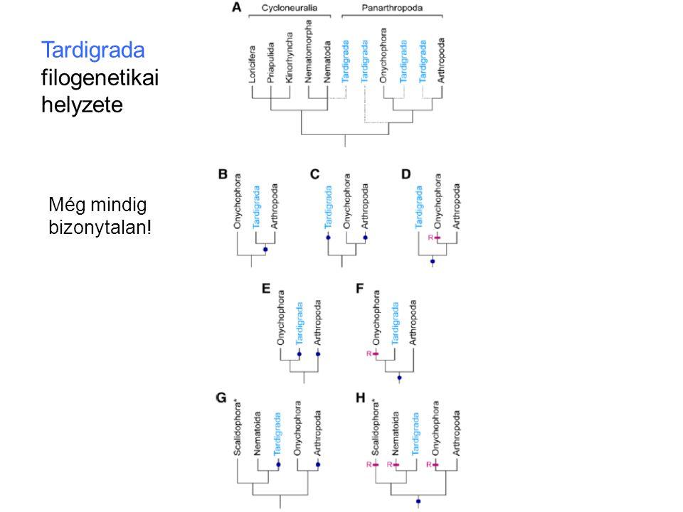 Tardigrada filogenetikai helyzete