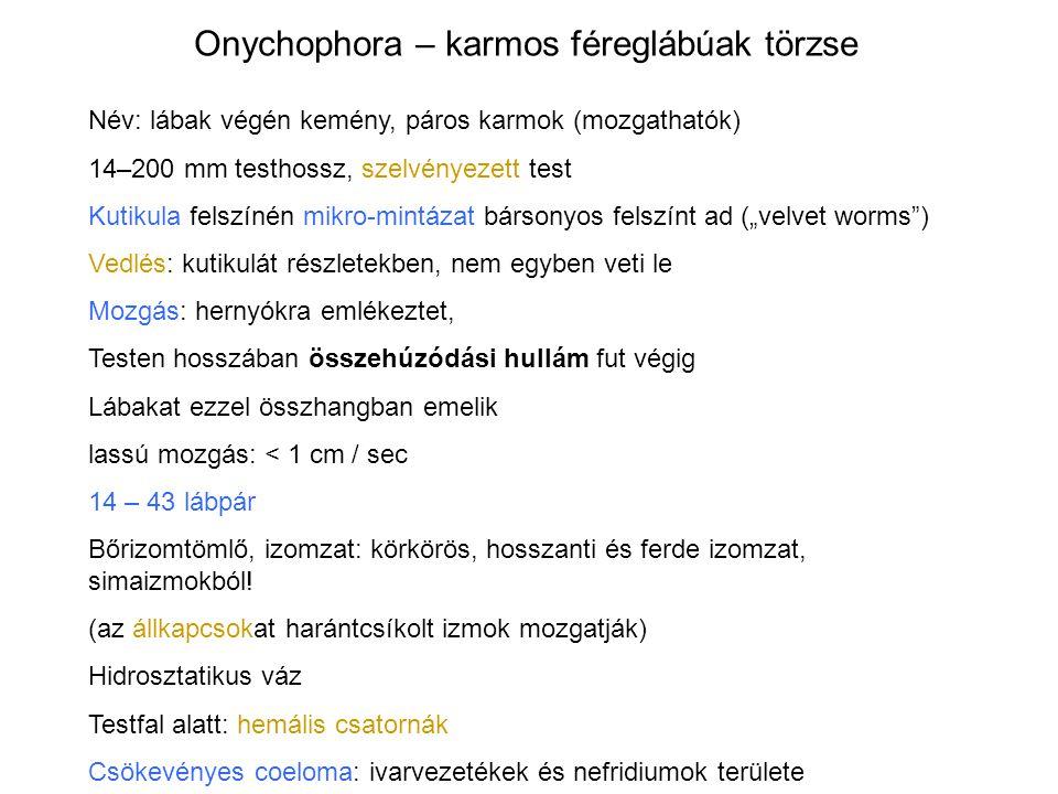 Onychophora – karmos féreglábúak törzse