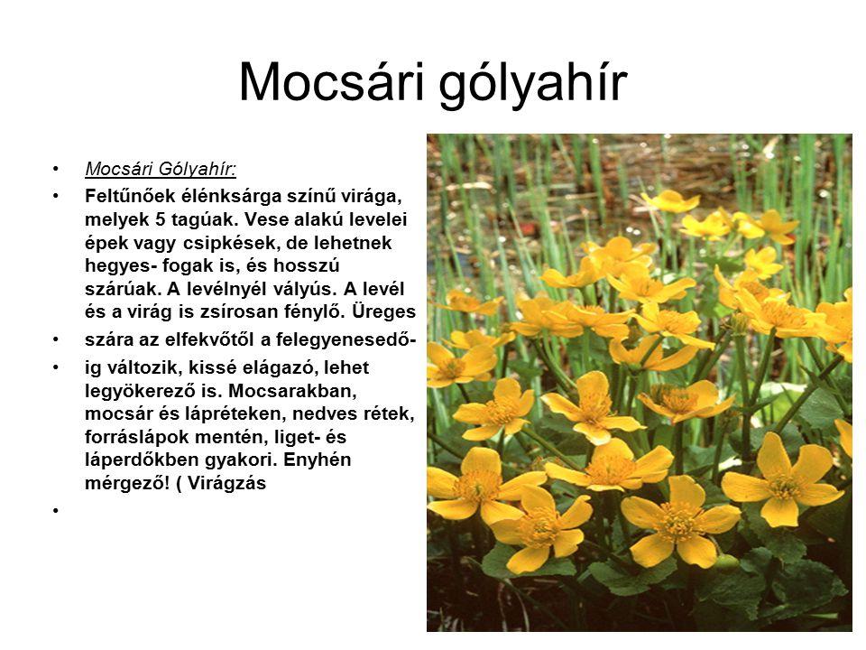Mocsári gólyahír Mocsári Gólyahír: