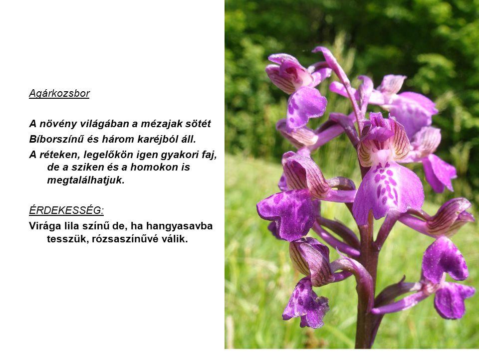 Agárkozsbor A növény világában a mézajak sötét. Bíborszínű és három karéjból áll.