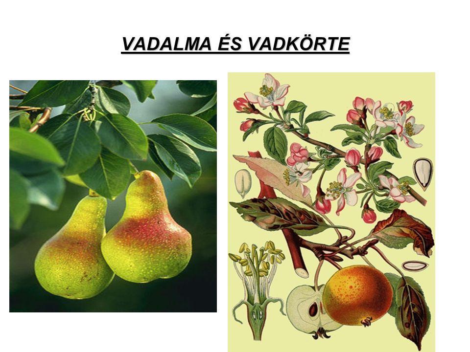 VADALMA ÉS VADKÖRTE