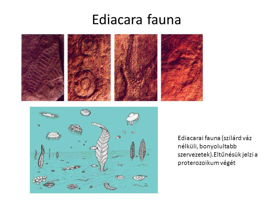 Ediacara fauna Ediacarai fauna (szilárd váz nélküli, bonyolultabb szervezetek).Eltűnésük jelzi a proterozoikum végét.