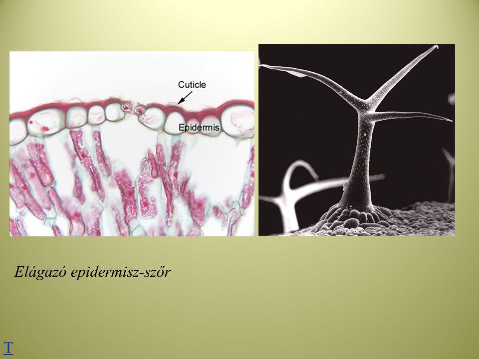 Elágazó epidermisz-szőr