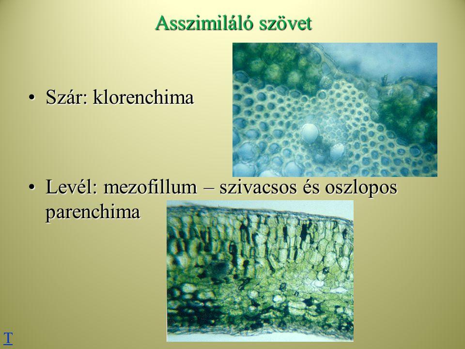Levél: mezofillum – szivacsos és oszlopos parenchima