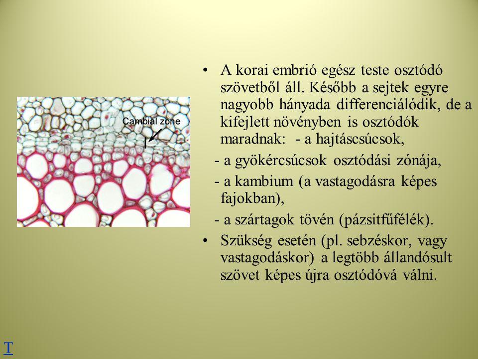 A korai embrió egész teste osztódó szövetből áll