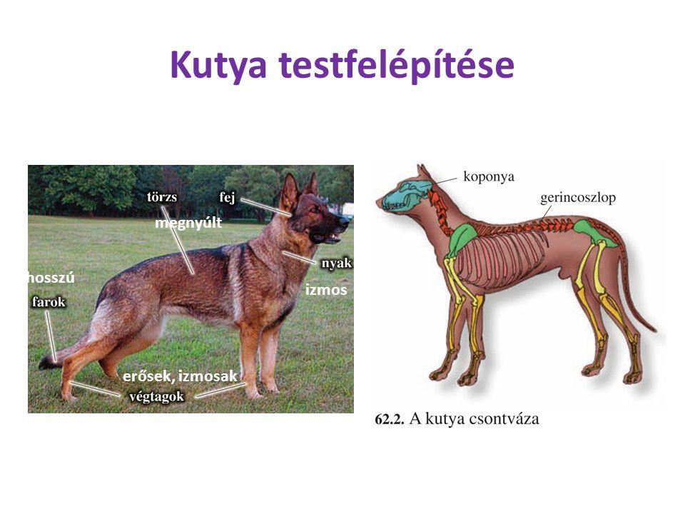Kutya testfelépítése megnyúlt hosszú izmos erősek, izmosak