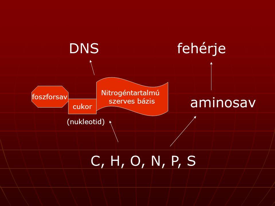 DNS fehérje aminosav C, H, O, N, P, S Nitrogéntartalmú szerves bázis