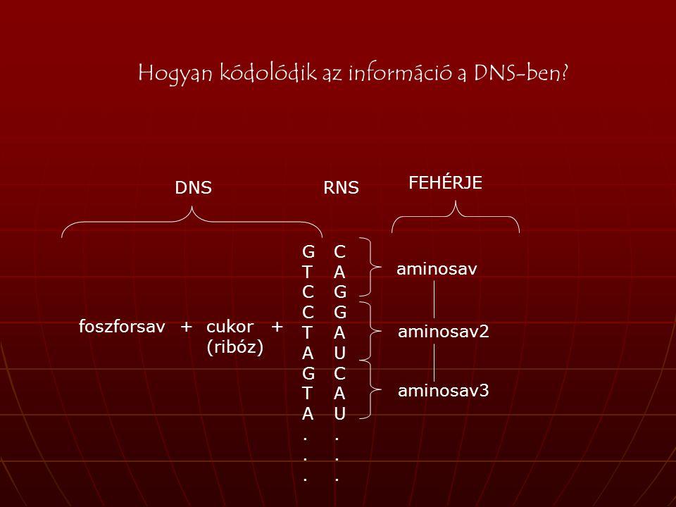 Hogyan kódolódik az információ a DNS-ben