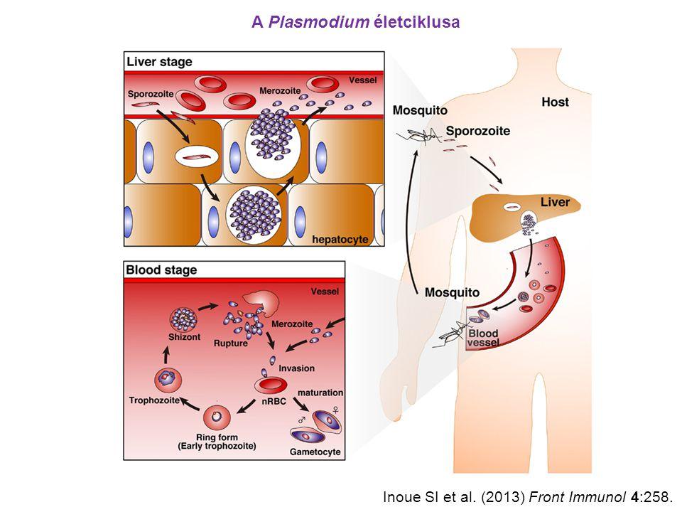A Plasmodium életciklusa