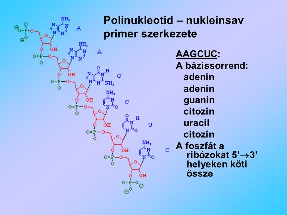 Polinukleotid – nukleinsav primer szerkezete
