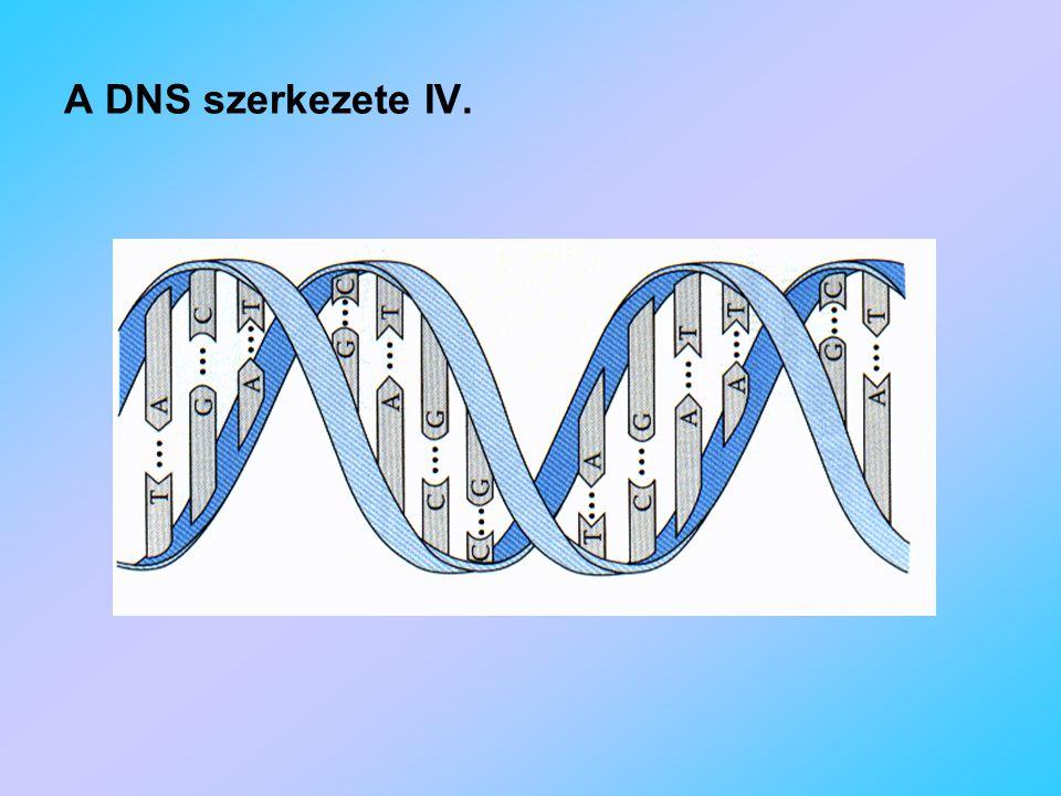 A DNS szerkezete IV.